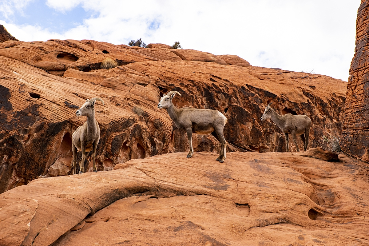 valley of fire mountain goats